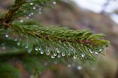 picture of pine-needle  - A close up of pine Needles with drops of water - JPG