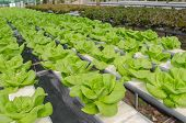 picture of butter-lettuce  - the Butter head vegetable in hydroponic farm