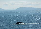 picture of whale-tail  - A humpback whale dives in Alaska - JPG