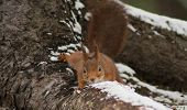 foto of creeping  - a european red squirrel creeping down a root - JPG