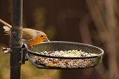 picture of robin bird  - Picture of a Little Garden Robin on a bird feeder  - JPG