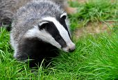 picture of badger  - Badger cub watching - JPG