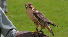 foto of falcons  - Falconer with the Peregrine Falcon on training glove - JPG