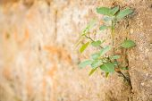picture of wall-stone  - The plant grows to a stone wall - JPG