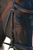 picture of breed horse  - closeup of a horse head with detail on the eye - JPG