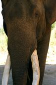 image of tusks  - Old male elephant with large tusks Pine Breeze Elephant conservation camp near Kalaw Myanmar  - JPG