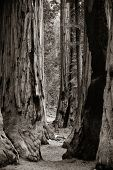 image of sequoia-trees  - Giant tree closeup in Sequoia National Park - JPG