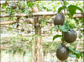 pic of passion fruit  - Passion fruit - JPG