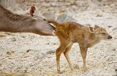 stock photo of deer family  - Little deer with his mom take care - JPG