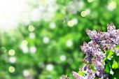picture of lilac bush  - purple lilac bush blooming in May day - JPG