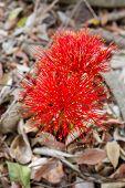 image of fireball  - red sphere Scadoxus multiflorus  - JPG