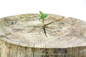 pic of decomposition  - Seedling growing in a timber isolated on white backgroundFocus on seeding - JPG