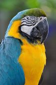 picture of angry bird  - Close up beautiful macaw bird with angry eye action - JPG