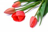 stock photo of bittersweet  - bouquet of beautiful red tulips isolated on white background - JPG