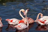 image of pink flamingos  - Pink flamingos standing in France in a lake - JPG