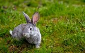 pic of eat grass  - Cottontail bunny rabbit eating grass in the garden  - JPG