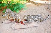 picture of cheetah  - Two Cheetahs in Captivity - JPG