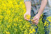 picture of cultivation  - Farmer Hands in Oilseed Rapeseed Cultivated Agricultural Field Examining and Controlling The Growth of Plants Selective Focus with Shallow Depth of Field Crop Protection Agrotech Concept - JPG