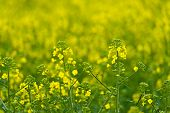 pic of cultivation  - Oilseed Rapseed Flower Close up in Cultivated Agricultural Field Selective Focus with Shallow Depth of Field Crop Protection Agrotech Concept - JPG