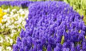 picture of small-flower  - background texture of a flower bed with a small purple muscari spring flowers - JPG