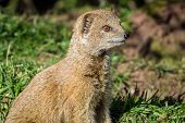 image of stare  - portrait of a yellow mongoose - JPG