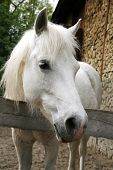 Постер, плакат: Closeup Of A White Pony Horse Pony Looking Over The Corral Door
