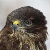 foto of buzzard  - Close up of a Common Buzzard  - JPG
