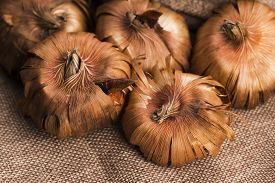 picture of gladiola  - Gladiola bulbs ready to plant in the spring garden - JPG