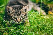 Постер, плакат: Playful Cute Tabby Gray Cat Kitten Pussycat Sitting In Grass Out
