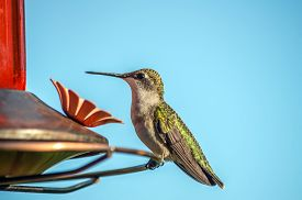 stock photo of hummingbirds  - Female Ruby - JPG