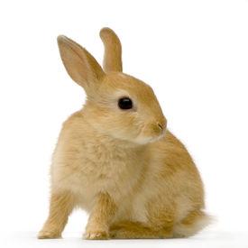 stock photo of bunny rabbit  - beige shy rabbit sitting against white background - JPG