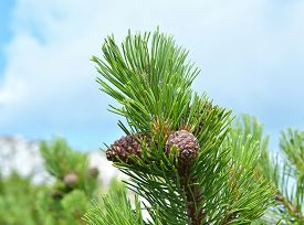 picture of pine nut  - Branch with cone - JPG