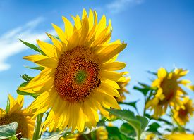 foto of heliotrope  - Sunflowers in windy weather and cloudy blue sky can be seen in this picture - JPG