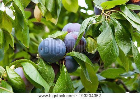 poster of Close Up Of The Plum Tree Branch With Ripe Juicy Fruits On Sunset Light.