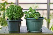 Potted Basil Plant. Basil herb plant growing on balcony. poster