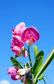 stock photo of sweet pea  - this image shows a sweet pea with blue sky - JPG