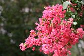 image of crepe myrtle  - A crepe myrtle tree in full bloom against green background - JPG