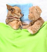 a cute chihuahua sleeping next to a teddy bear