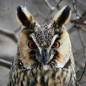 stock photo of screech-owl  - Screech - JPG