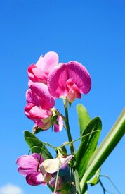 foto of sweet pea  - this image shows a sweet pea with blue sky  - JPG