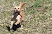 Cute Little Brown Rat Terrier Chihuahua Mix Dog Running With A Wooden Stick In Its Mouth On In Early poster