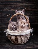 Scottish Straight Kittens. Professional Photography Purebred Kittens poster