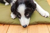 Funny Portrait Of Cute Smilling Puppy Dog Border Collie Indoor. New Lovely Member Of Family Little D poster