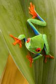 Red eyed tree frog on a leaf in the tropical rain forest of Costa Rica. Agalychnis callydrias or mon poster