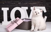 Scottish Straight Cat Cream Color. A Playful Kitty Near The Box. Valentines Day Greeting Card. poster