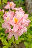 The Japanese Rhododendron (lat. Rhododendron Japonicum) Blooms In The Garden poster