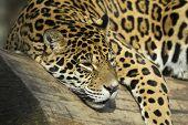 Постер, плакат: Jaguar портрет