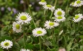 Spring Inflorescence Of Daisies Flowers poster
