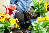 Gardener Woman Taking Pansy Plant Out Of Plastic Pot To Plant It Into The Garden. Planting Spring Pa poster