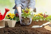Gardener Woman Planting Flower In The Garden. Planting Spring Pansy Flower In Garden. Gardening Conc poster
